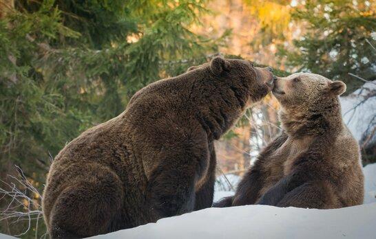 """""""Укрзалізниця"""" передасть своїх двох ведмедів до зоопарку у Нідерландах"""