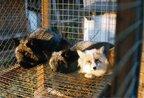 """Хутрові ферми в Україні: виробництва """"вбивають"""" екологію та забирають життя тисяч тварин (відео)"""
