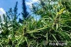 Під Борисполем поліцейські знайшли 3 гектари конопель на 20 млн грн (фото)